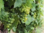 Velké Bílovice,  vinice - 3288 m2, orná půda -  3150 m² - pozemek. - Pozemky Břeclav